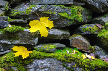 Yellow autumn leaves on stone wall covered with green moss.