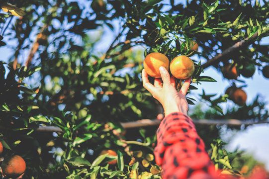 Hands and oranges of the orange farmers are harvesting. Oranges are delicious. Healthy fruit