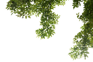 tree branch and green leaf silhouette photography , white background