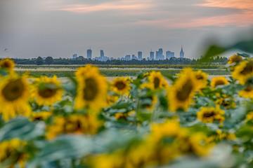 Warsaw via sunflower
