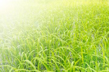 Jasmine rice farming texture