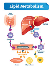 Lipid metabolism vector illustration infographic. Labeled medical scheme.