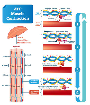 ATP muscle contraction cycle vector illustration labeled educational scheme