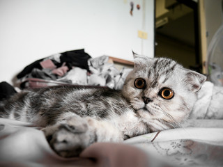 Scottish fold cat fur gray striped black so cute.