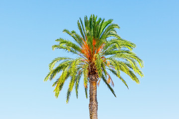 Beautiful palm tree on a background of clear, blue sky on a Sunny day.