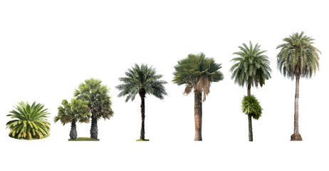 palm tree isolated on white background collection set