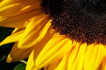 Portrait of sunflower flower in the summer garden