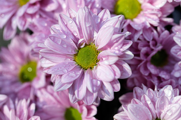 Close-up of pink aster flowers (Asteraceae) in the summer garden after the rain