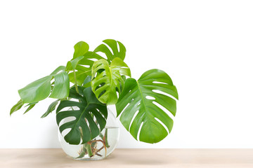 propagating Swiss Cheese Plant , Philodendron Monstera in water