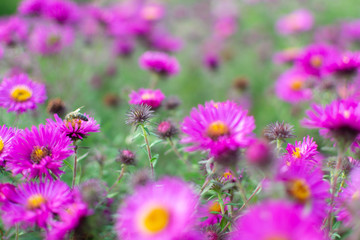 New england aster garden and a bee
