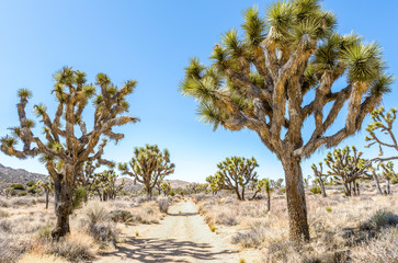 Joshua trees (Yucca brevifolia) on Stubbe Springs Loop in Joshua Tree National Park, California