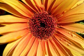 Portrait of orange gerbera flower in the summer garden