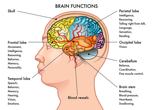 Chart medical illustration of a human head in profile showing the functions of the brain, isolated on a white background.