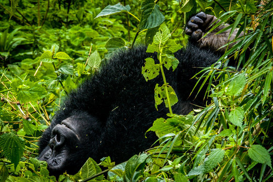 A female mountain gorilla from the Sabinyo group relaxes in the rainforest of Volcanoes National Park in Rwanda, Central Africa