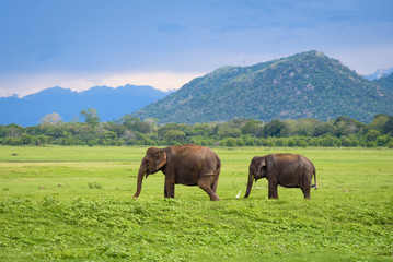 Foto op Canvas Olifant Elephants in Sri Lanka. Two young asian elephants in Minneriya National Park, Sri Lanka. Asian elephants eating grass with mountains and dramatic storm clouds in the background in Minneriya, Sri Lanka