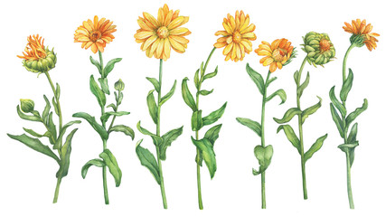 Set orange Calendula officinalis (also known as the field, marigold, ruddles) flower. Watercolor hand drawn painting illustration isolated on a white background.