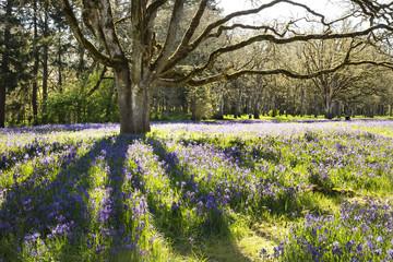 Wild camas flowers growing under oak trees in the Pacific Northwest