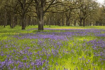 Fields of wild camas flowers growing under oak trees