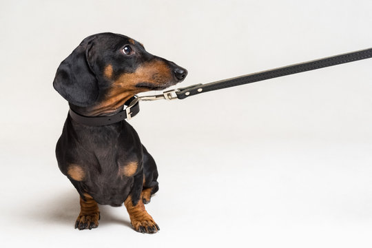 cute dachshund dog, black and tan, afraid to go for a walk with owner, stretched leash, isolated on gray background