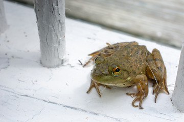 Green Frog on White Weathered Railing