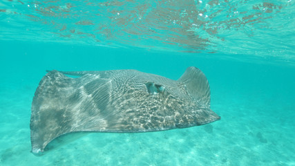 UNDERWATER, CLOSE UP: Beautiful gray stingray swimming around the turquoise sea.