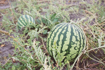 Watermelon plant in a garden, the harvest season