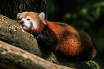 Red panda resting on a branch after lunch