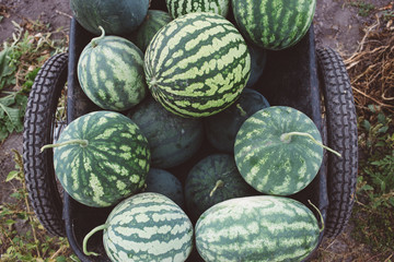 harvest of watermelons in a cart, harvest season