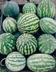 Watermelon plant in a garden, the harvest season