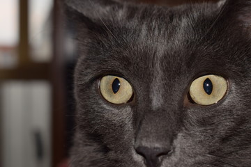 The muzzle of a smoky cat with yellowish green eyes.