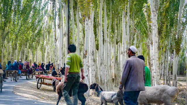 KASHGAR, CHINA - Oct 2011: Uyghur people travel along birch tree lined roads to the weekly market at Yopurga near Kashgar in Xinjiang Uygur Autonomous Region of China
