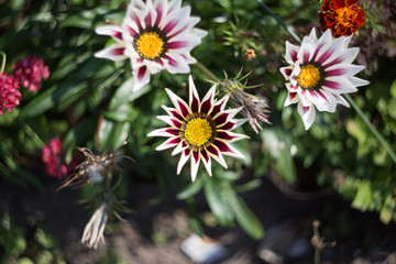 flower  gazania among other flowers in the flower bed