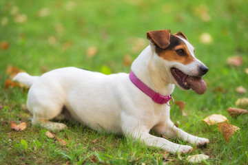 Jack Russell terrier dog in the park on grass meadow