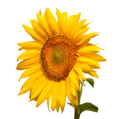 Flower of sunflower head isolated on white background. Seeds and oil. Flat lay, top view