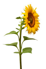 Fototapete - Flower of sunflower isolated on white background. Seeds and oil. Flat lay, top view