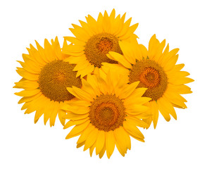 Sunflowers isolated on white background. Flower bouquet. The seeds and oil. Flat lay, top view