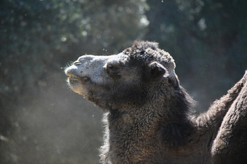 Camel Head in a Cloud of Dust