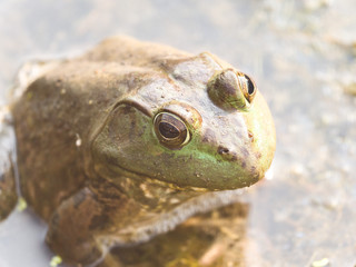Close up photograph of a large male bull frog sitting on seaweed at the surface of water in a pond in Chicago.