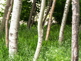 Beautiful landscape background photograph of a forest of trees with white birch tree trunks and tall green grass in the foreground and branches and brush behind the trees in summer.