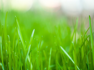 Close up macro photograph of a patch of fresh vibrant green grass in a planter with blurred bokeh background beyond in spring.