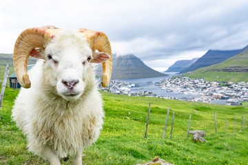 Closed up of white ram in sheep agriculture farm with green grass and high mountain with city in the background with cloudy weather sky in Faroe Islands rural