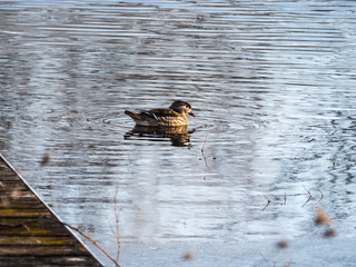 Wildlife photograph of a female wood duck with blue wing feathers and spots swimming and making ripples on a pond in rural Wisconsin adjacent to a weathered wood pier.