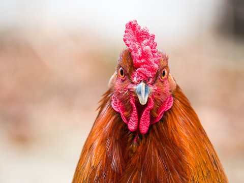 Funny or humorous close up head portrait of a male chicken or rooster with beautiful orange feathers bright red comb and wattle with a blurred bokeh background.