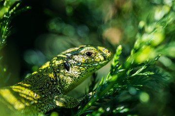 Male Lacerta Agilis Sand Lizard Reptile Animal Macro Portrait Close-up