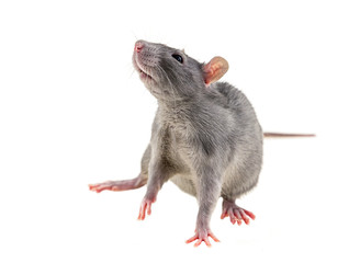 gray young rat small lean on a white background phobia fear rodent symbol hunger disaster war