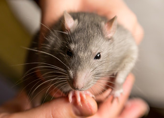 intelligent rat with black eyes and gray hair looks into the camera with curiosity sits in the hands of a close-up favorite pet