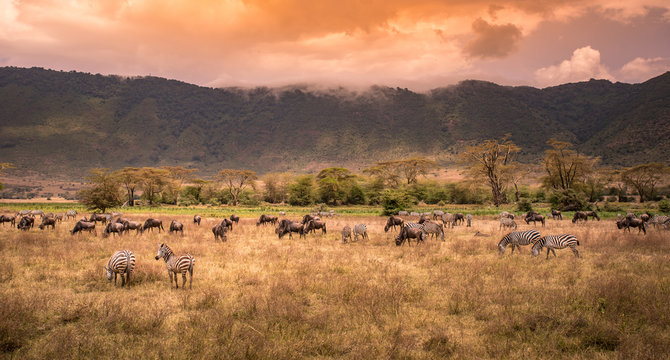 Landscape of Ngorongoro crater -  herd of zebra and wildebeests (also known as gnus) grazing on grassland  -  wild animals at sunset - Ngorongoro Conservation Area, Tanzania, Africa