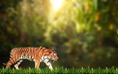 Walking tiger on sunny background