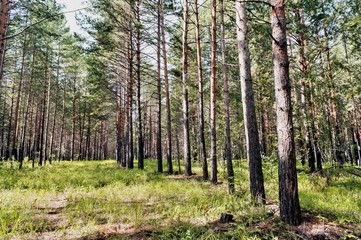 Fototapete - young pine forest illuminated by the sun