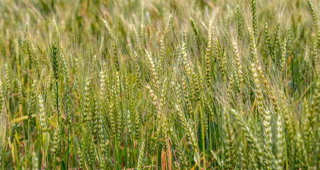 Ripe wheat in the field as a background